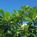 Tiare-Polynésie