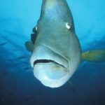 Poisson napoléon - Napoleonfish
