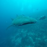 requin baleine et plongeur Maldives Dhigurah