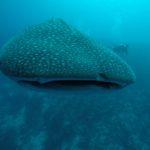 requin baleine Maldives Dhigurah