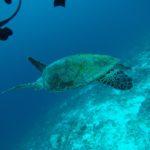 tortue Maldives Dhigurah