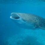 requin baleine en plongée Maldives Dhigurah