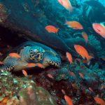 Komodo tortue croisière plongée