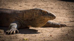 Dragon à Komodo