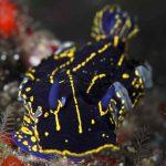 plongée à pico nudibranches