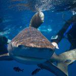 Egypte-Marsa Nakari plongée requin