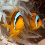 snorkeling poissons clowns en Egypte