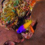 Bahamas plongée Cat Island Yellow purple guy
