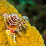 Bahamas plongée Cat Island christmas trees worms