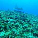 Plongée Japon Kumejima raie Manta