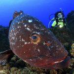 mérou Faial plongée Açores
