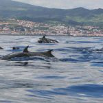 Dauphins Faial Açores plongée