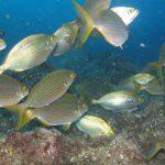 Salema Faial plongée Açores