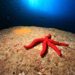 Etoile de mer Faial plongée Açores