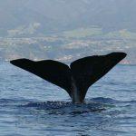 baleine Faial Açores plongée