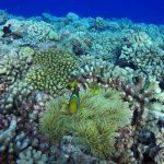 Polynésie-plongée-Huahine corail