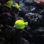 cuba plongée angelfish