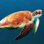 tortue plongée Cuba
