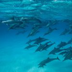 dauphins sataya Francis Le Guen